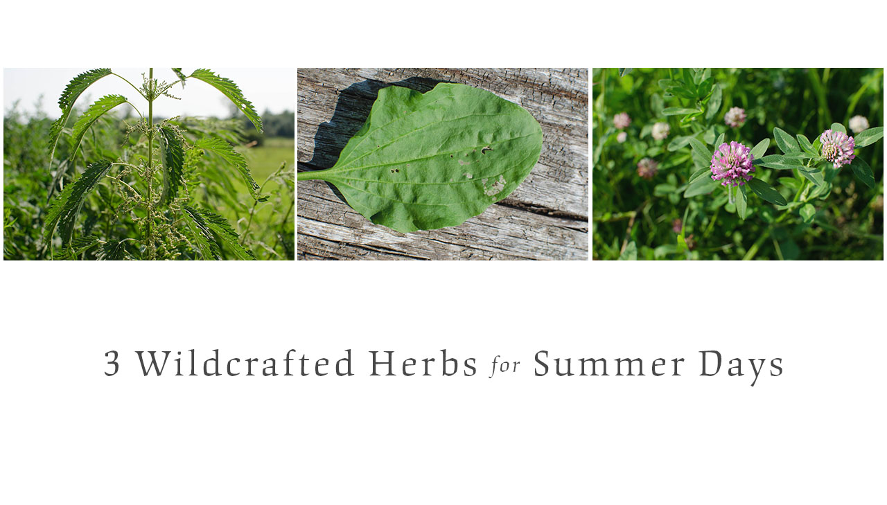 3 Wildcrafted Herbs for Summer