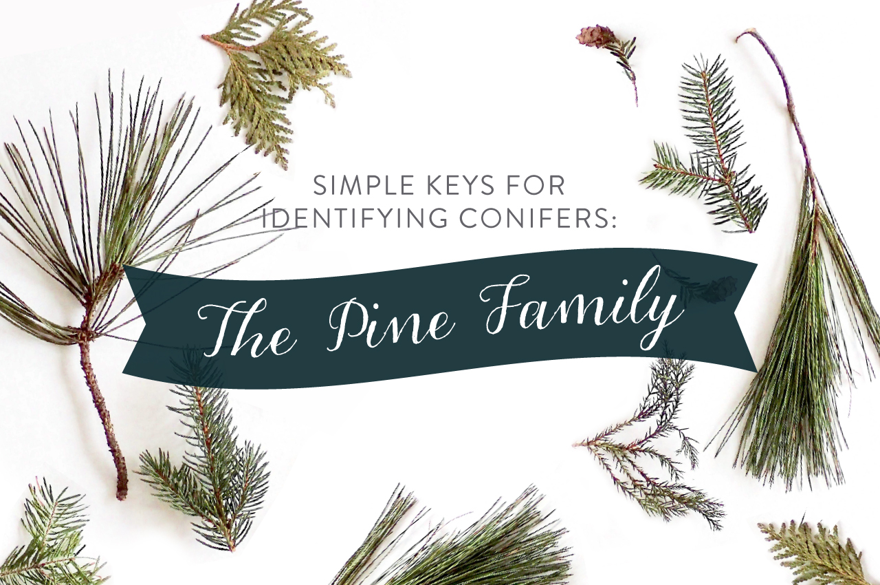 simple keys for identifying conifers the pine family playful learning